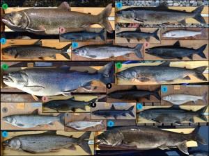 lake trout morphs